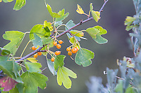 Almost ready to eat! These golden currants are about to burst with tart, fruity goodness along the banks of Cowiche Creek as it flows through the desert steppe in Central Washington.