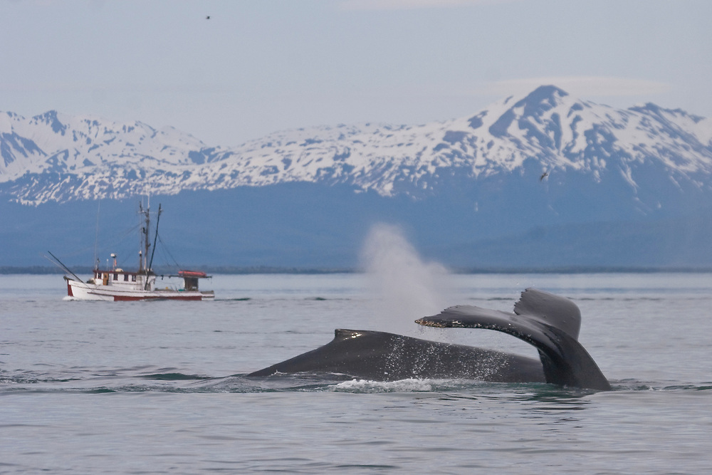 Two humpback whales (Megaptera novaeangliae) glide past a commercial fishing boat with the snowy mountains of Glacier Bay National Park in the background.