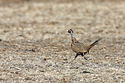 Young male ringnecked pheasant running in harvested field