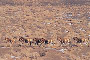 Asiatic wild ass or Khulan<br /> (Equus hemionus luteus)<br /> Endangered<br /> Gobi Desert<br /> Mongolia<br /> Range: Asia