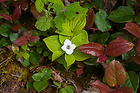 The bunchberry is a very attractive member of the dogwood family found in all of the Northern States of the USA (plus Colorado and New Mexico) and all of Canada, Greenland, as well as many parts of Asia in thick, damp coniferous or mixed hardwood forests where openings in the canopy allow for some sunlight to filter down to the ground. Very adaptable in growing habits, it is found from the coastline a to as high up as the edge of the tundra.