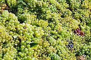 White grape harvest - Balaton vineyards, Hungary