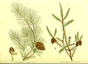 Pinus halepensis [Aleppo Pine Tree] and Pinus Nigra [Black Spruce Fir Tree] from Vol II of the book The universal herbal : or botanical, medical and agricultural dictionary : containing an account of all known plants in the world, arranged according to the Linnean system. Specifying the uses to which they are or may be applied By Thomas Green,  Published in 1816 by Nuttall, Fisher & Co. in Liverpool and Printed at the Caxton Press by H. Fisher