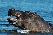 Hippopotamus, Hippopotamus amphibius, threat display.