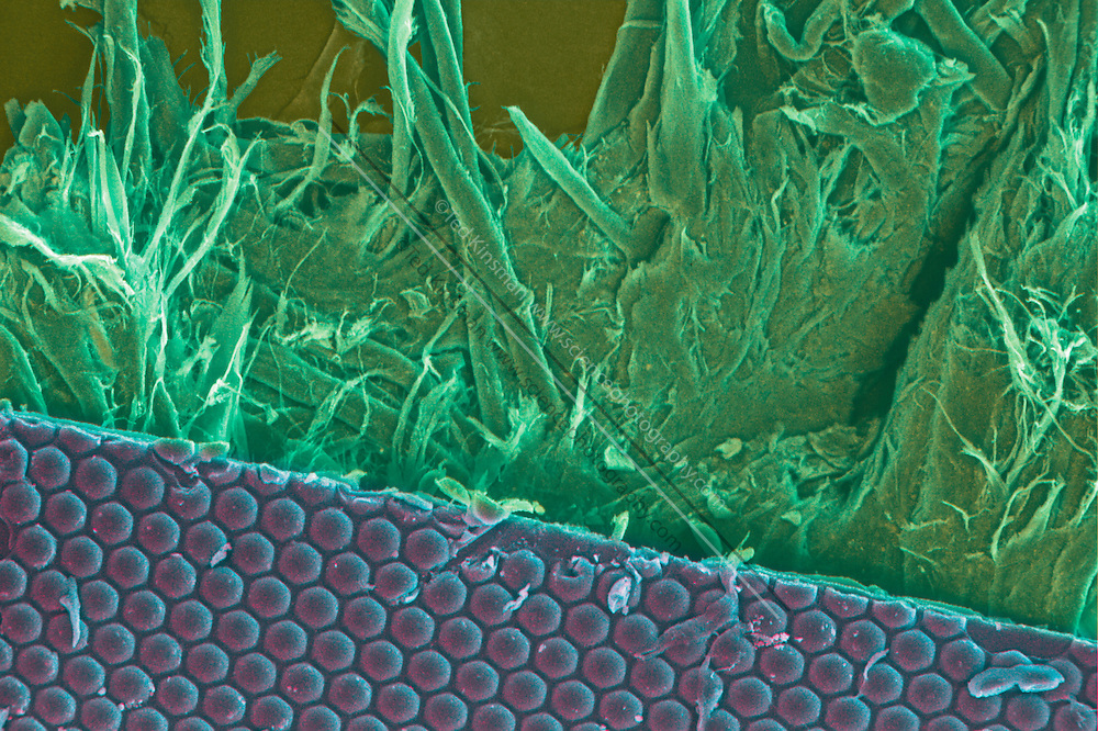 Scanning electron microscope image of the lenticular array in the U.S. 100 dollar bill. The lenticular array, or micro-lens, shows a different color when the viewing angle of the bill is changed. This is just one of the security (anti-counterfeit) features of the United States 100 dollar bill, others include: micro-print, watermarks, lenticular images, special inks, fluorescent fibers and strips, colored fibers, and the use of full colored inks.