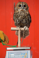 © licensed to London News Pictures. London, UK 21/08/2013. A tawny owl called owlberta weighs 444 grams at ZSL London Zoo's annual weigh-in on Wednesday, 21 August, 2013. Photo credit: Tolga Akmen/LNP