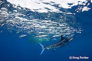 striped marlin, Kajikia audax (formerly Tetrapturus audax ), whacks sardines with bill while feeding on baitball of sardines or pilchards, Sardinops sagax, off Baja California, Mexico ( Eastern Pacific Ocean )
