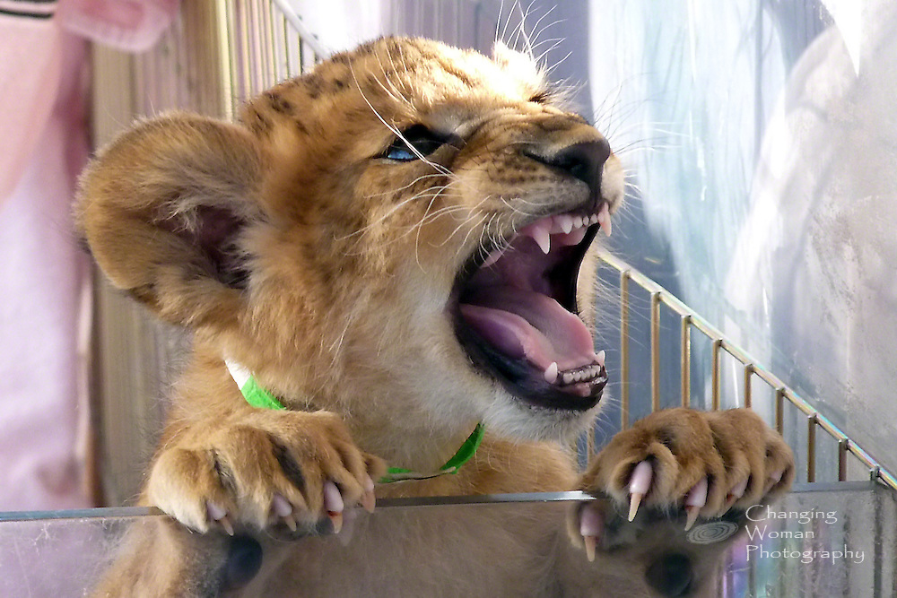 Six-week-old lion cub, one of seven new additions to the pride at Las Vegas's Lion Habitat Ranch, displays a an almost fierce face and impressive claws.