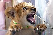 Lions at Lion Habitat Ranch