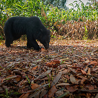 The Asian black bear (Ursus thibetanus, previously known as Selenarctos thibetanus), also known as the Asiatic black bear, moon bear and the white-chested bear, is a medium-sized bear species native to Asia and largely adapted to arboreal life.