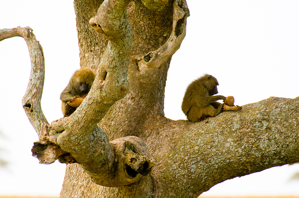 A troop of baboons in a tree, Serengeti National Park, Tanzania