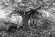 Veteran yew tree (Taxus baccata). Druids Grove, Norbury Park, Surrey, UK.