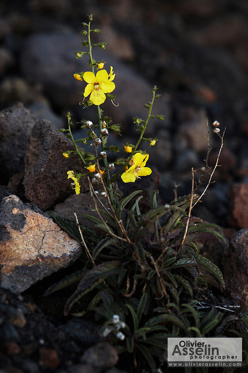 Bright yellow flowers growing on the slope of Pico Fogo, Fogo Island, Cape Verde, West Africa.