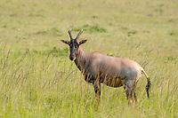 Topi, Damaliscus lunatus jimela, in Maasai Mara National Reserve, Kenya