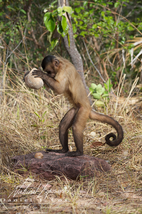Tufted Capuchin using rocks as tools to break palm nuts, Parnaiba Headwaters National Park, Brazil.