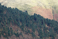 conifer plantation growing on hillside in cumbria