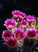 Blooming hedgehog cactus, Echinocereus engelmannii, Organ Pipe Cactus National Monument, Arizona.