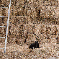 A black barn cat resting among bales of hay.