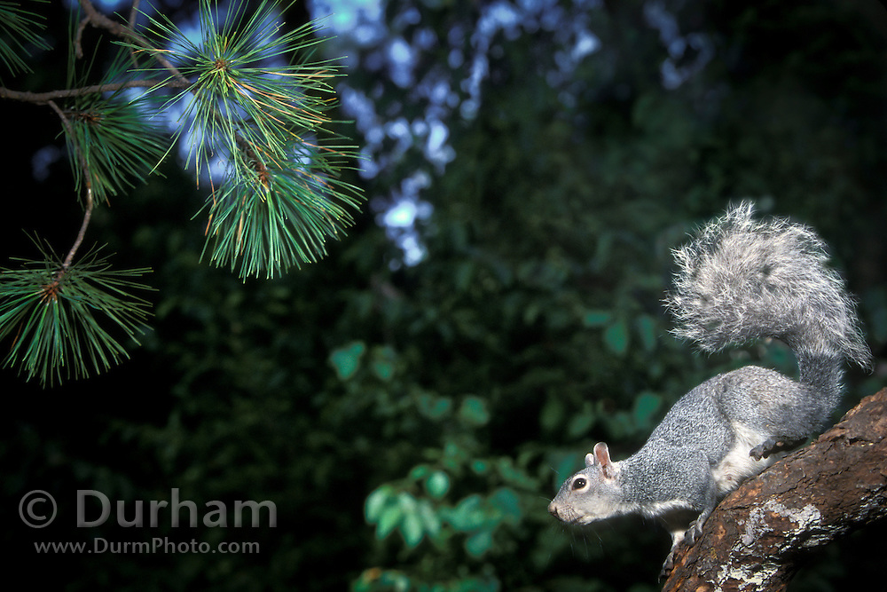 A western gray squirrel (Sciurus griseus) about to jump from a tree limb in the Dechutes National Forest, Oregon.(1 0f 2)