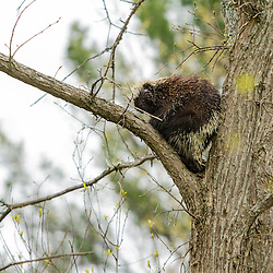 A porcupine, Erethizon dorsatum, in a tree in Durham, New Hampshire.