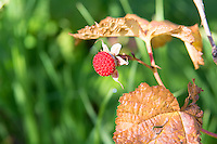 The thimbleberry is one of those often overlooked, highly under-appreciated wild berries that deserves a lot more credit than it gets. Found in all of the western states, and Canadian provinces and all around the Great Lakes, both in the United States and Canada the humble thimbleberry is considered by many to be superior than any raspberry. It is easily recognized in the wild by its large, papery maple-shaped leaves and completely thornless stalks. The tart, intensely fruity, high in Vitamin C berries are used to make some of the best jellies, and are often added to other berries such as blueberries, blackberries and raspberries to kick up the sweetness and flavor. This perfectly rip one was found (and eaten) above Lake McDonald in Montana's Glacier National Park.