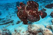 giant frogfish, Antennarius commerson, M Spot Reef, Christmas Island ( Kiritimati ), Republic of Kiribati, northern Line Islands, equatorial Central Pacific Ocean