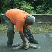 Central America, Centro America, Latin America, Latin, tropical, Costa Rica, Puerto Viejo, Caribbean, Manzanillo Wildlife Refuge, Manzanillo, Man rescuing a lost sloth from athe road.