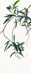 Acacia Auriculiformis #2