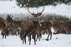 © Licensed to London News Pictures. 09/11/2016. Ripon, UK. Red deer brave the heavy snowfall at Fountains Abbey near Ripon in North Yorkshire. The Met Office has issued a severe weather warning as Scotland and much of the North of England has seen heavy snowfall. Photo credit : Ian Hinchliffe/LNP