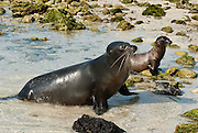 """The Galápagos Sea Lion (Zalophus wollebaeki) is seen on Isla Genovesa (or Tower Island), Ecuador, South America. This mammal in the Otariidae family breeds exclusively on the Galápagos Islands and in smaller numbers on Isla de la Plata, Ecuador. Being fairly social, and one of the most numerous species in the Galápagos archipelago, they are often spotted sun-bathing on sandy shores or rock groups or gliding gracefully through the surf. They have a loud """"bark"""", playful nature, and graceful agility in water. Slightly smaller than their Californian relatives, Galápagos Sea Lions range from 150 to 250 cm in length and weigh between 50 to 400 kg, with the males averaging larger than females. Sea lions have external ear-like pinnae flaps which distinguish them from their close relative with whom they are often confused, the seal. When wet, sea lions are a shade of dark brown, but once dry, their color varies greatly. The females tend to be a lighter shade than the males and the pups a chestnut brown. In 1959, Ecuador declared 97% of the land area of the Galápagos Islands to be Galápagos National Park, which UNESCO registered as a World Heritage Site in 1978. Ecuador created the Galápagos Marine Reserve in 1998, which UNESCO appended in 2001."""
