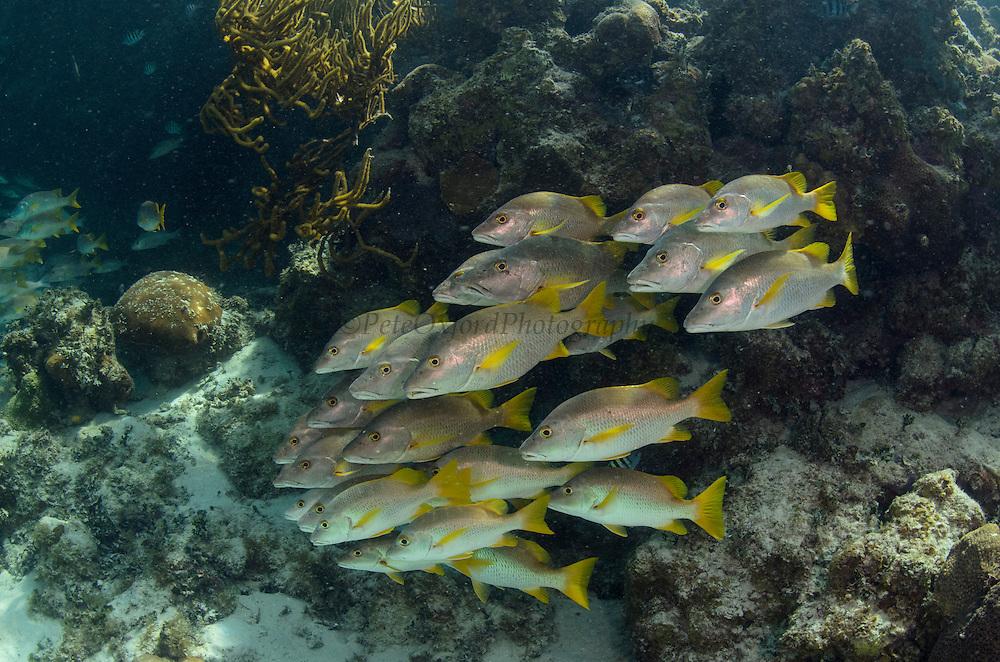 Schoolmaster (Lutjanus apodus)<br /> Halfmoon Caye, Lighthouse Reef Atoll<br /> Belize<br /> Central America