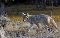 Coyote, Canis latrans, in Yellowstone National Park.