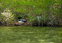 Nesting Loon seen while kayaking on Lake Wicwas.  ©2019 Karen Bobotas Photographer