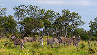 A herd of zebras, Kwando Concession, Linyanti Marshes, Botswana.