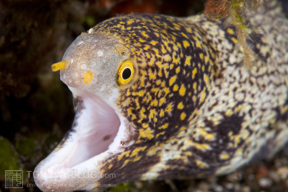 Cute snowflake moray eel (Echidna nebulosa) with its mouth open, photographed in Manado, North Sulawesi, Indonesia