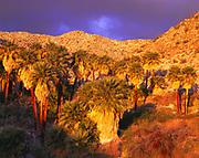 Stormy sunrise illuminating California fan palms, Washingtonia filifera, of the Palm Bowl Grove of Surprise Canyon, Mountain Palm Springs, Anza-Borrego Desert State Park, California.