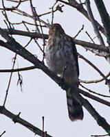 Cooper's Hawk (Accipiter cooperii). Image taken with a Nikon N1V3 camera and 70-300 mm VR lens