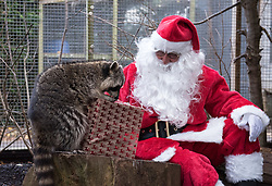 © Licensed to London News Pictures.  29/11/2017; Bristol, UK. Bristol Zoo gives Christmas presents to some of its animals. Pictured Santa with Raccoons, Rocky and Miko. Picture credit : Simon Chapman/LNP