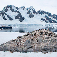 Gentoo penguins nest on a rocky outcrop in front of the National Geographic Explorer at Port Charcot on Booth Island, Antarctica.