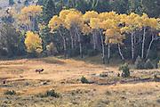 Bull elk bugling against backdrop of autumn Aspens.