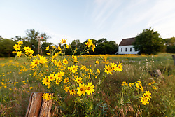 Engelmann's daisies and historic church in Blackland Prairie remnant at Frankford Church and Cemetery, Dallas, Texas.