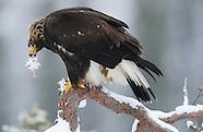 Golden Eagle, Norway