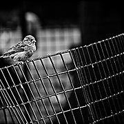Amidst all the hustle and bustle of New York, there are always these little scenes of tranquility. In this case, a small bird sitting on a very wobbly fence.