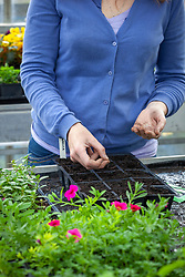 Sowing lettuce into module trays
