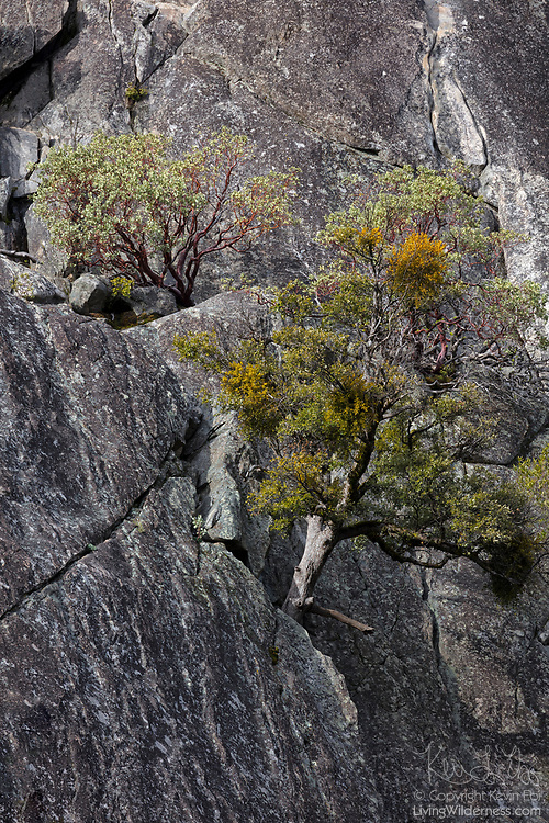 Several trees grow from cracks on the steep granite face of Rocky Point in Yosemite National Park, California.