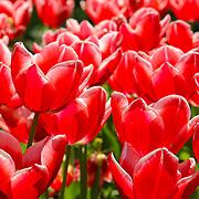 Sea of tulips, Copenhagen, Denmark (May 2005)