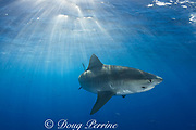 tiger shark ( Galeocerdo cuvier ) with parasitic leech on side of head, North Shore, Oahu, Hawaii, USA ( Central Pacific Ocean )