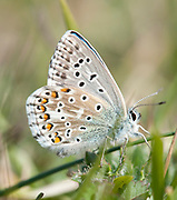 Adonis Blue Butterfly, male, Lysandra bellargus, Lydden Temple Ewell, Kent Wildlife Trust, UK