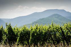 Vineyards on the foothills of the Vosges Mountains near Sigolsheim, Alsace, France<br /> <br /> (c) Andrew Wilson   Edinburgh Elite media