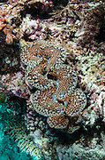 Boring Giant Clam (Tridacna crocea)<br /> Fiji. South Pacific
